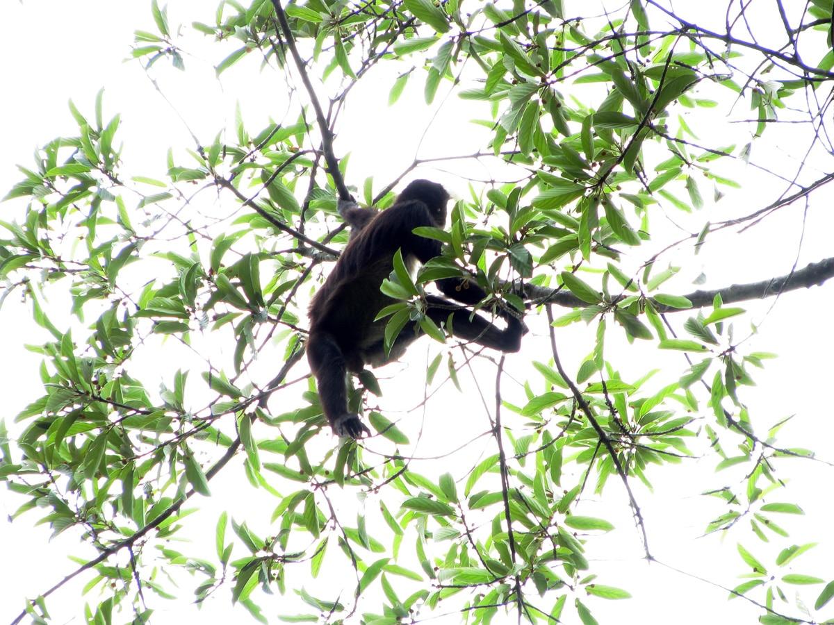 Photo d'un singe lors d'un voyage au Guatemala pour le livre Chasseurs de pierres au Guatemala
