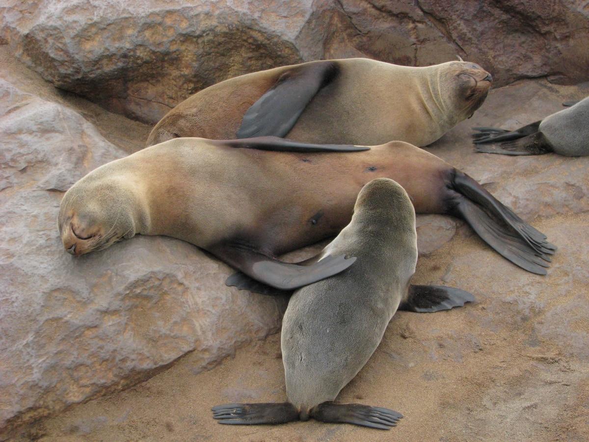 Photo de phoques lors d'un voyage au Namibie pour le livre Chasseurs de pierres en Namibie