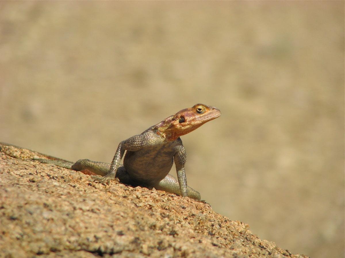 Photo d'un lézard lors d'un voyage au Namibie pour le livre Chasseurs de pierres en Namibie