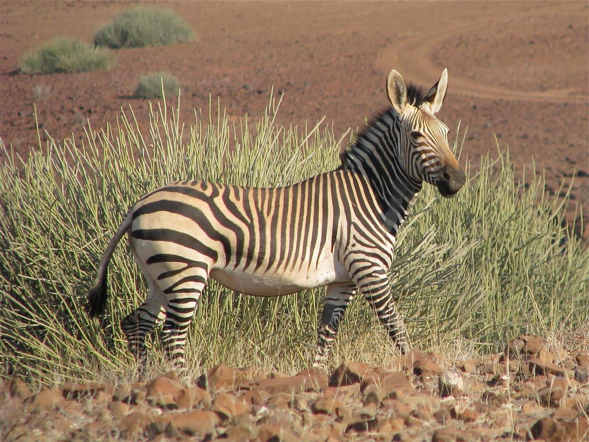 Photo d'un zèbre lors d'un voyage au Namibie pour le livre Chasseurs de pierres en Namibie