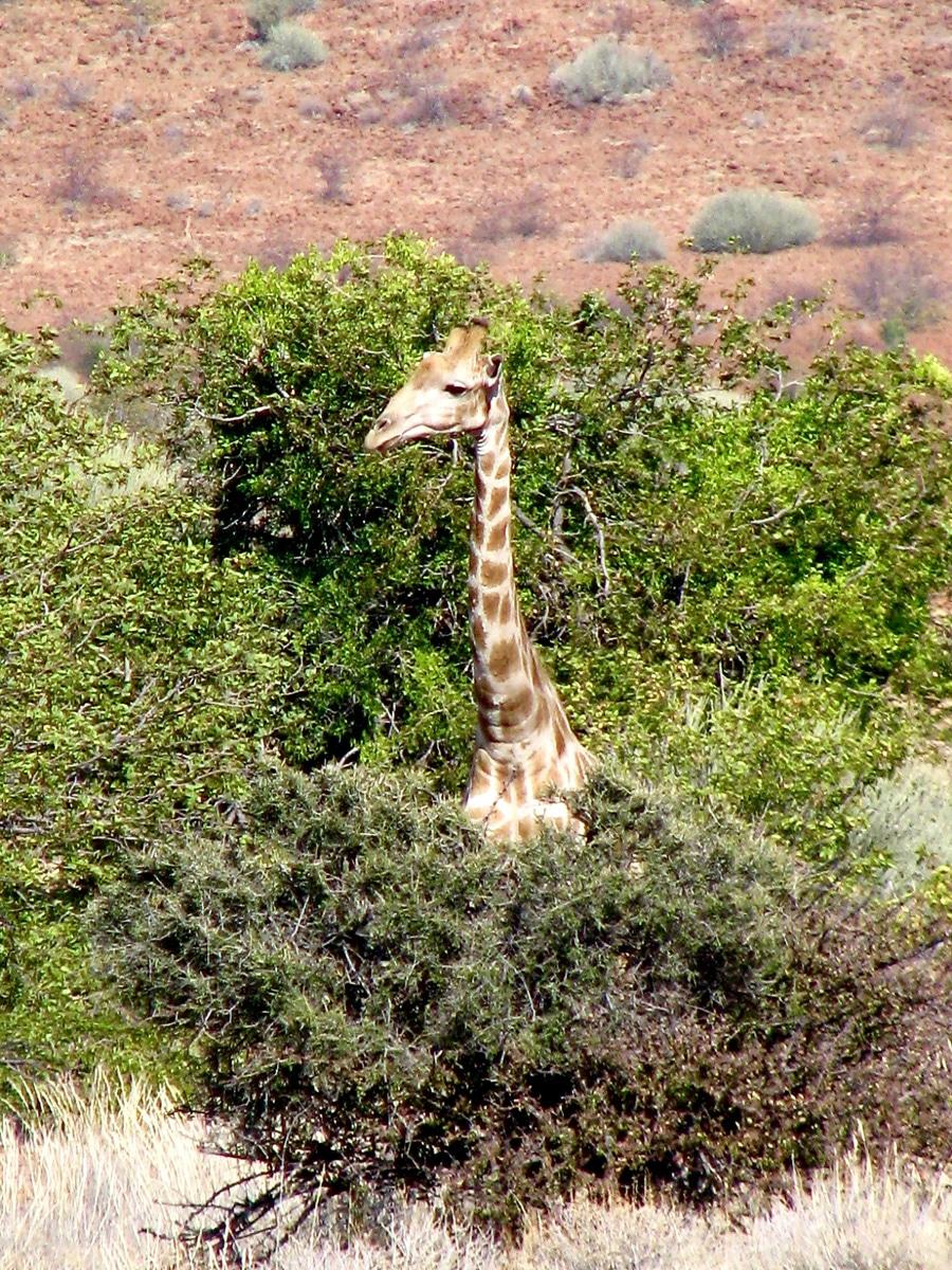 Photo d'une girafe lors d'un voyage au Namibie pour le livre Chasseurs de pierres en Namibie