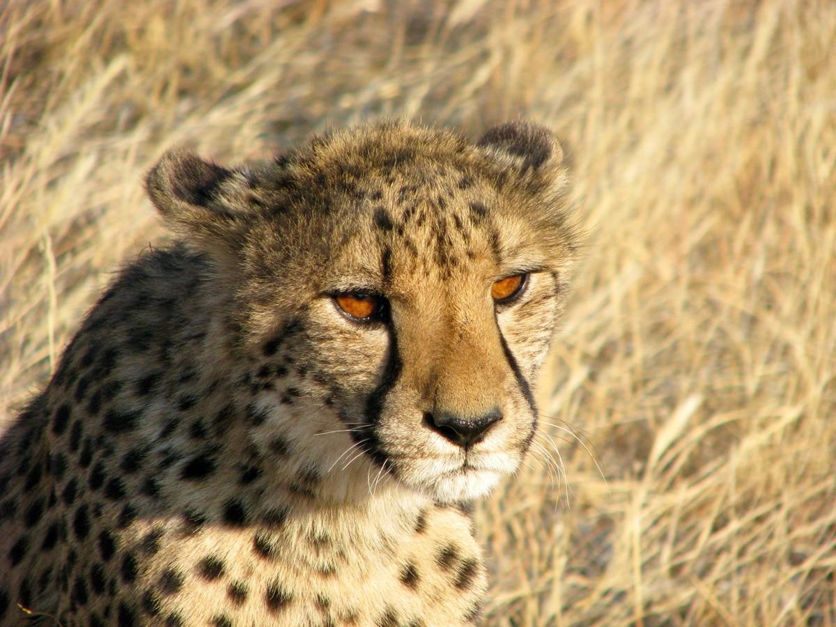 Photo d'un guépard lors d'un voyage au Namibie pour le livre Chasseurs de pierres en Namibie