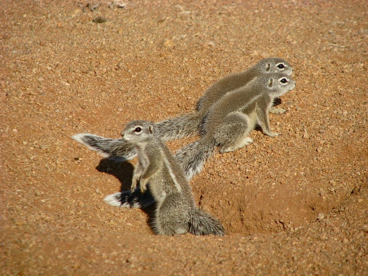 Photo d'écureils lors d'un voyage au Namibie pour le livre Chasseurs de pierres en Namibie