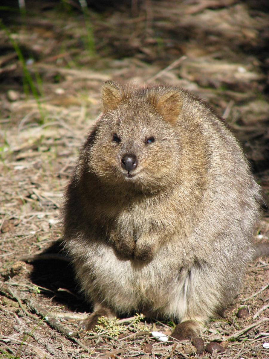 Photo d'un quokka lors d'un voyage en Australie pour le livre Chasseurs de pierres en Australie