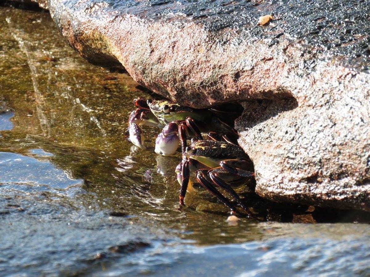 Photo de deux crabes lors d'un voyage en Australie pour le livre Chasseurs de pierres en Australie
