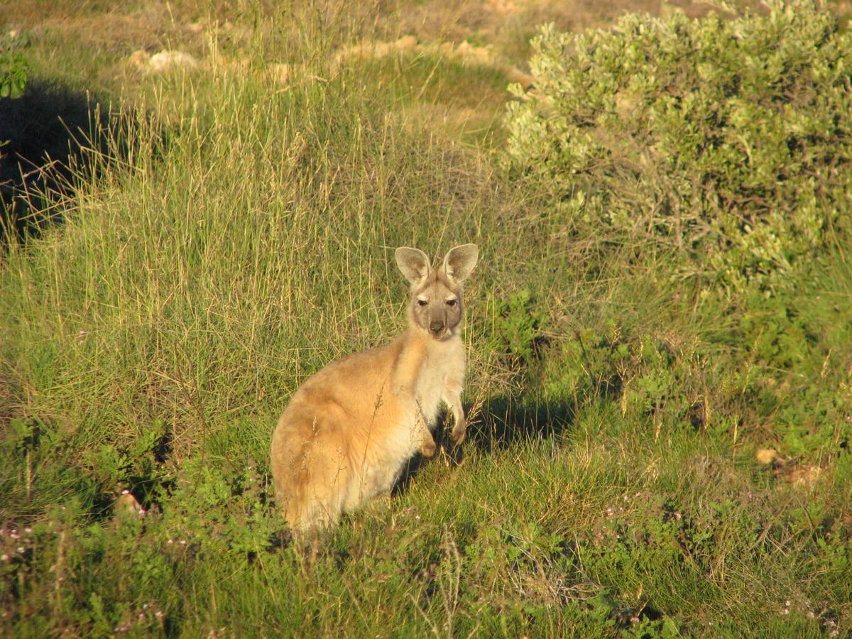 Photo d'un kangourou lors d'un voyage en Australie pour le livre Chasseurs de pierres en Australie