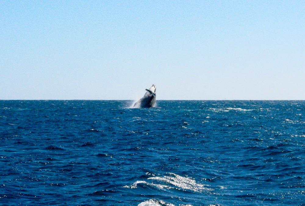 Photo d'une baleine lors d'un voyage en Australie pour le livre Chasseurs de pierres en Australie