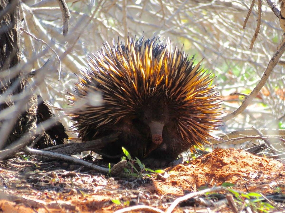 Photo d'un échidné sauvage lors d'un voyage en Australie pour le livre Chasseurs de pierres en Australie