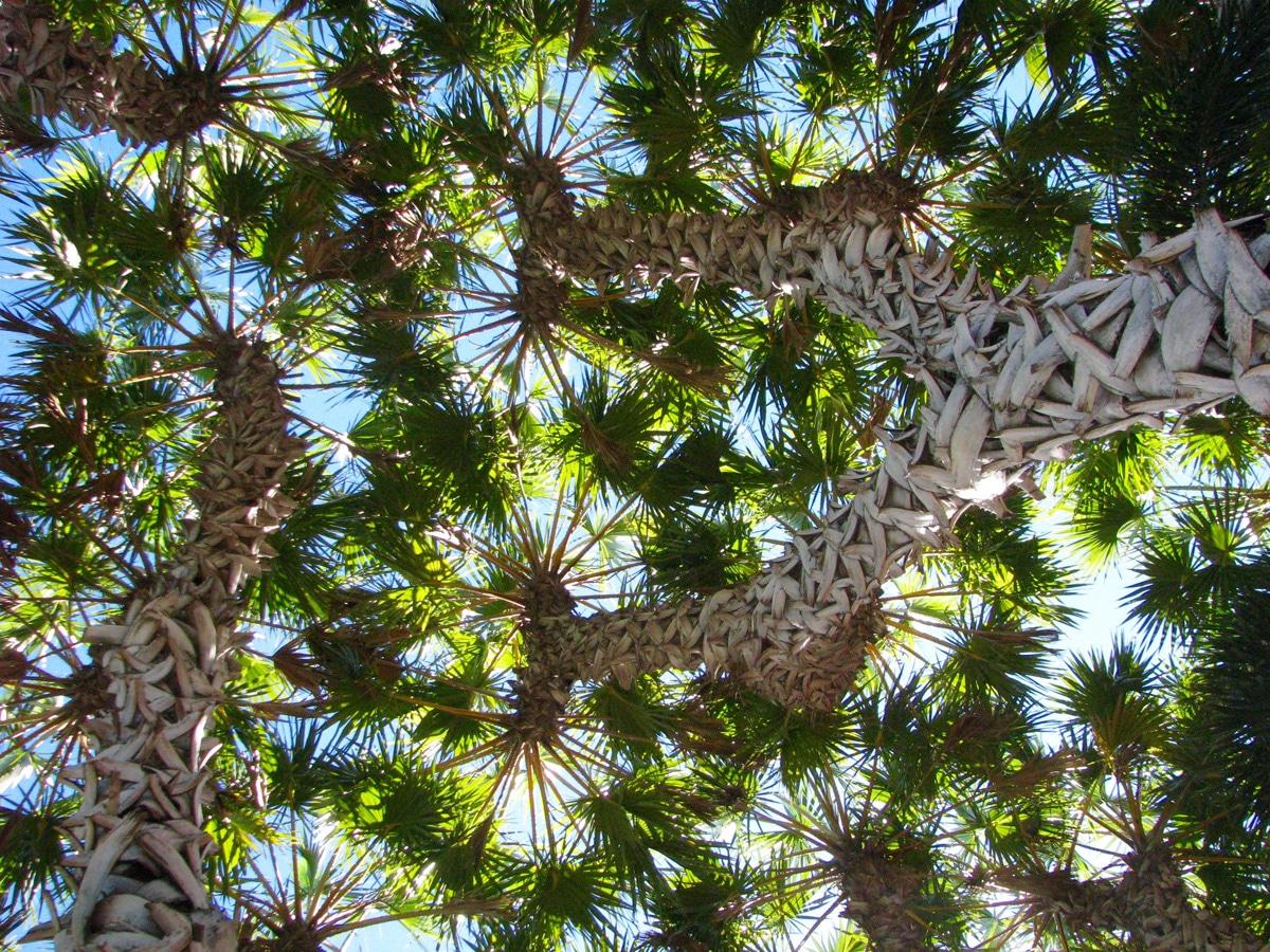 Photo de palmiers lors d'un voyage en Australie pour le livre Chasseurs de pierres en Australie
