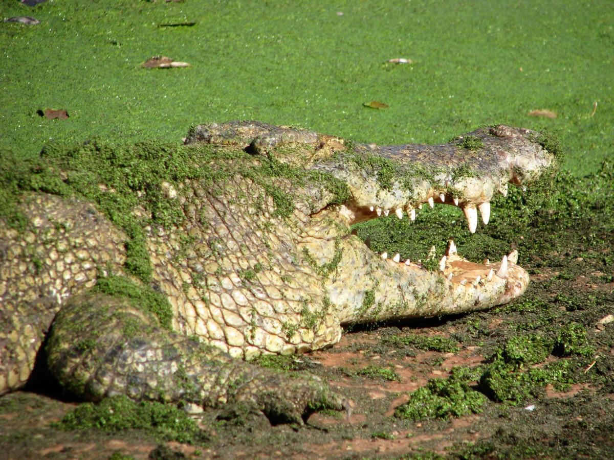 Photo d'un crocodile lors d'un voyage en Australie pour le livre Chasseurs de pierres en Australie