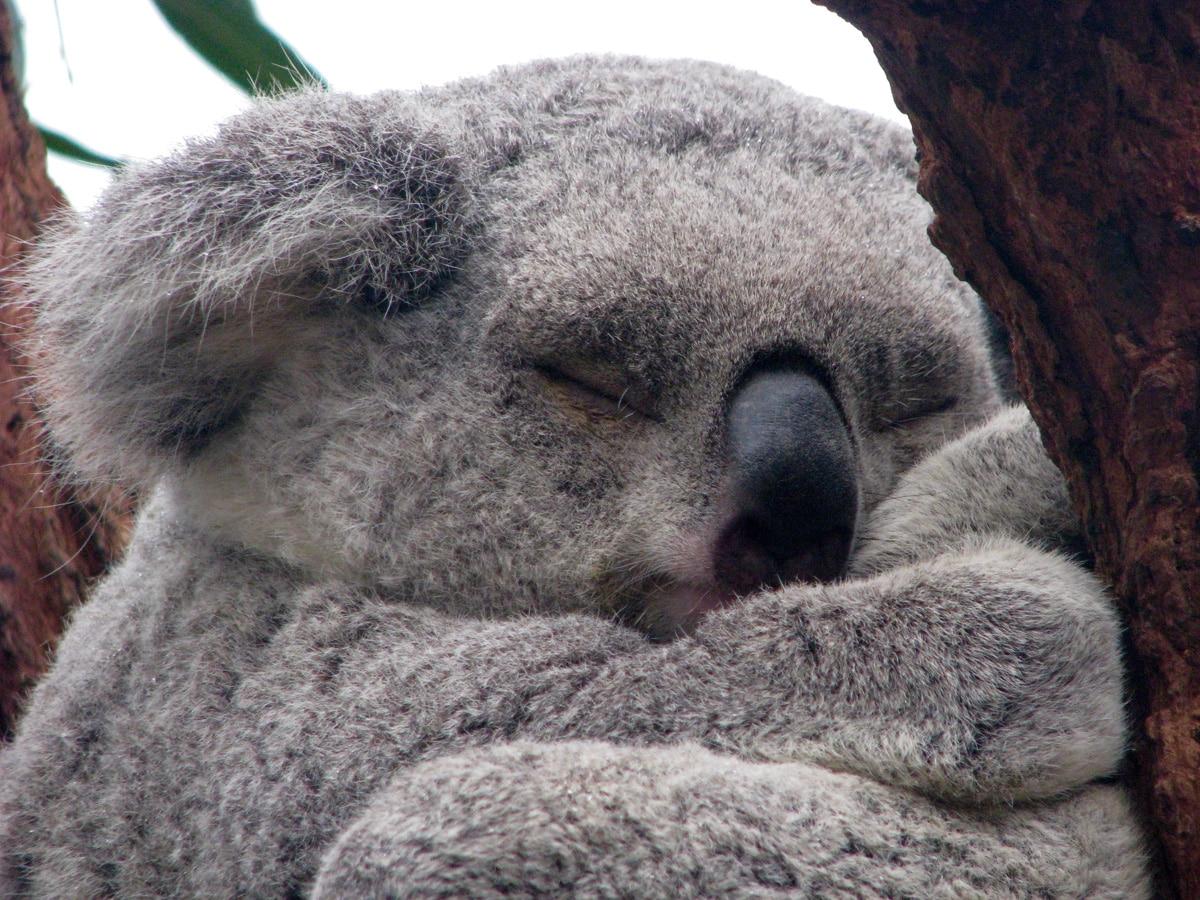 Photo d'un koala lors d'un voyage en Australie pour le livre Chasseurs de pierres en Australie